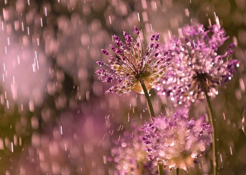 389684__flowers-in-the-rain_p
