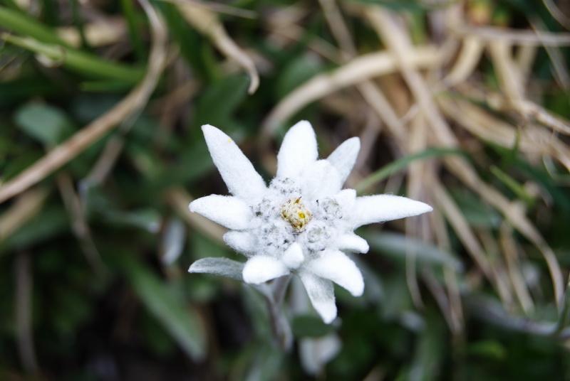stella-alpina