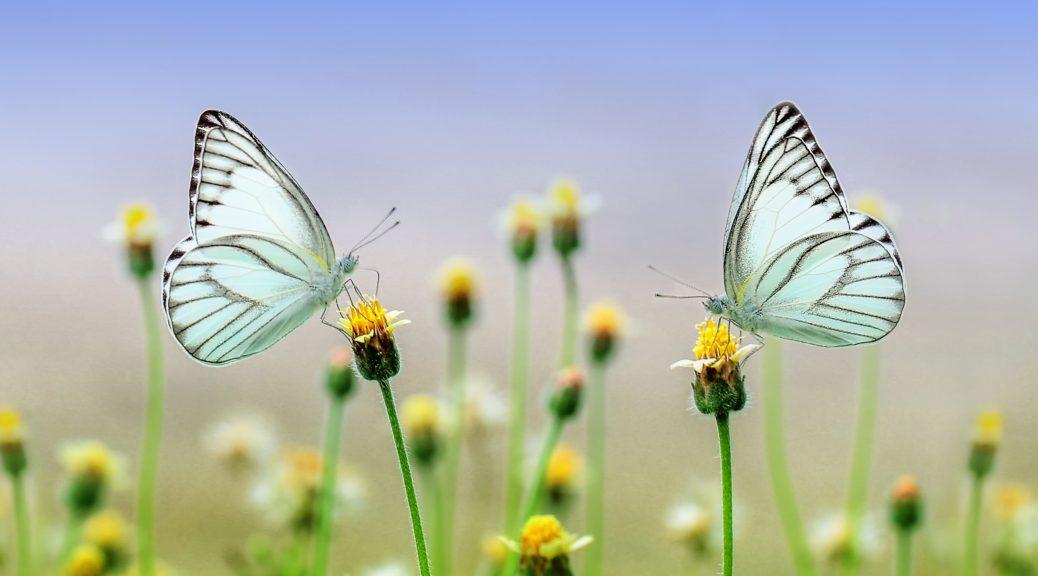 butterfly-1127666