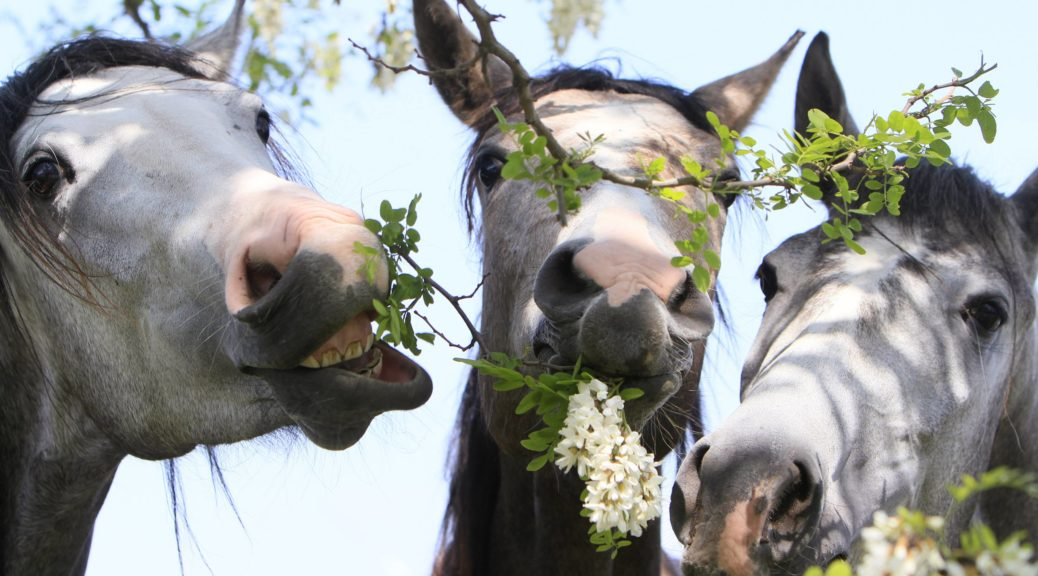 Horses eat flowers from a tree near the town of Babolna,100 km (62 miles) west Budapest May 18, 2011. REUTERS/Bernadett Szabo  (HUNGARY - Tags: ANIMALS SOCIETY)