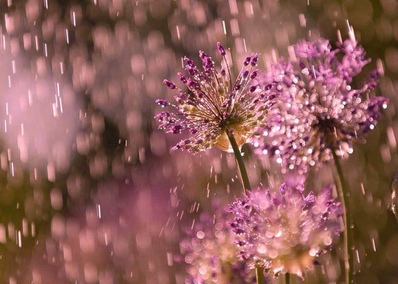 389684__flowers-in-the-rain_p