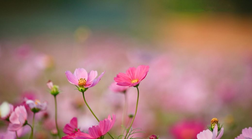 wallpapers-resolution-animated-wallpaper-mexican-pink-wildflowers-desktop-aster