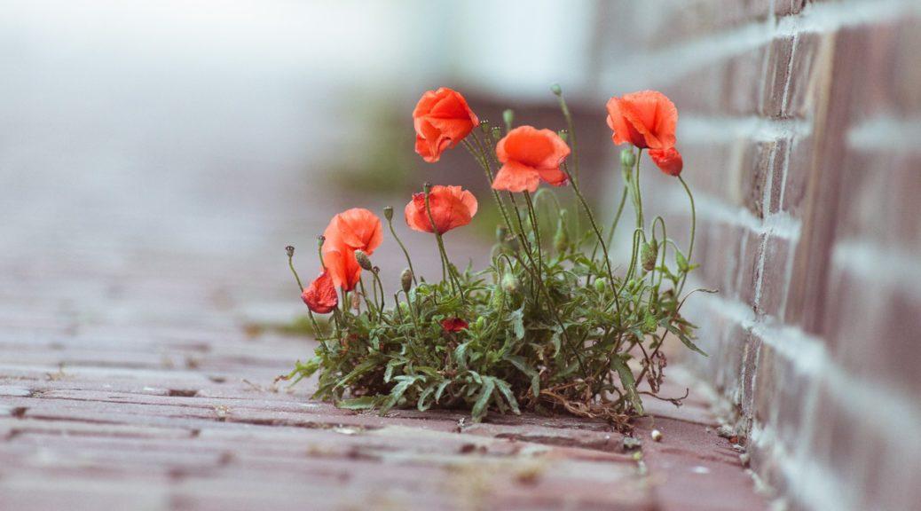 fiori_papaveri